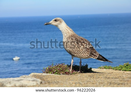 Larus michahellis. Yellow-legged Gull.