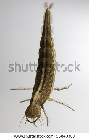 larva great diving beetle dytiscus marginalis underwater insect swimming in freshwater pond this juvenile insect animal is a predator and catches its prey with its big fangs - stock photo