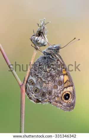 Lasiommata megera - wall brown - stock photo