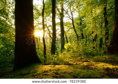 Last rays of the setting sun in beech forest