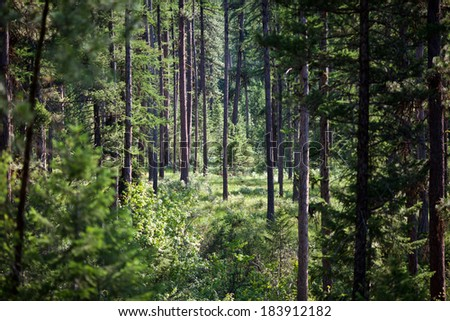 Late afternoon in a dense piney woods area. - stock photo