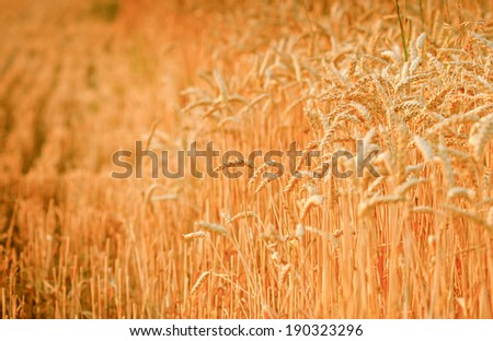 Late afternoon on a wheat field - early evening on wheat field - stock photo