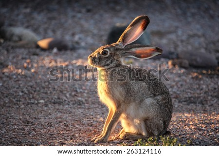 Late low sunlight catches frontal face of wild Black-tailed Jackrabbit/Facial Profile of Wild American Desert Hare in Low-Angle Sunlight/Wild Black-tailed Jackrabbit with low sunshine on face and ears - stock photo