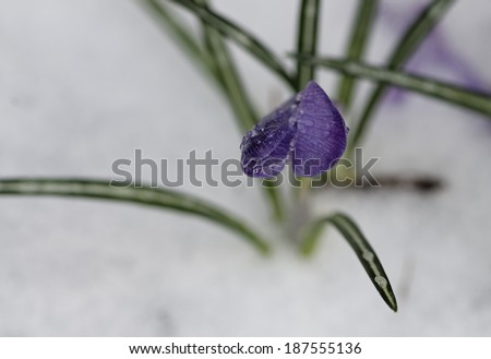 Late spring snow and ice on a Crocus blossom. - stock photo