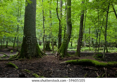 Late summer forest landscape of deciduous stand strictly nature protection area of Bialowieza National Park - stock photo