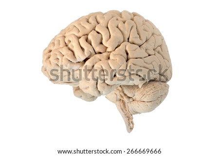 Lateral of Human brain - stock photo