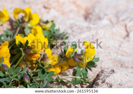 Lathyrus pratensis or meadow vetchling on stone... - stock photo