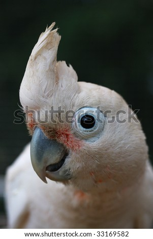 Latin name Cacatua goffini.  Head shot of a Goffin Cockatoo. - stock photo