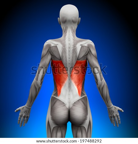 Latissimus Dorsi - Female Anatomy Muscles