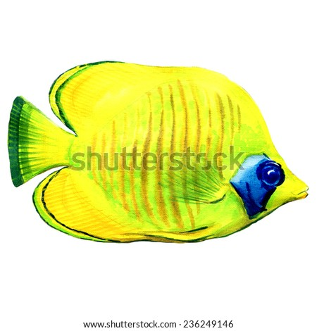 Latticed Butterfly fish isoalted. Chaetodon rafflesi - stock photo