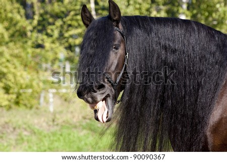 laughing black frisian horse - stock photo