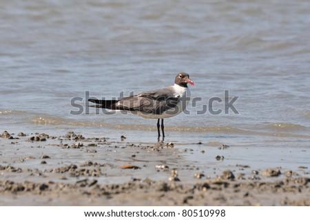 Laughing Gulls (Leucophaeus atricilla) - stock photo