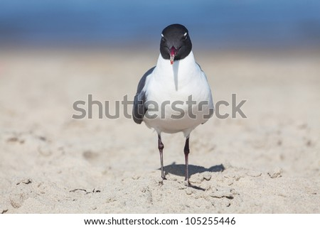 Laughing gulls, Leucophaeus atricilla, searching for food on a sandy beach - stock photo