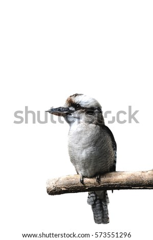Laughing kookabura bird sitting on a branch, isolated on a white background