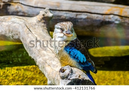 Laughing Kookaburra Australian kingfisher bird on wood - stock photo