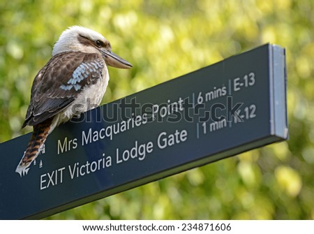 Laughing kookaburra bird in Sydney, New South Wales, Australia - stock photo