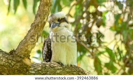 Laughing kookaburra birdlife sitting peacefully on tree - stock photo