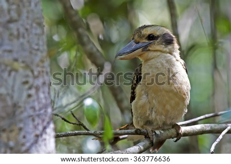 Laughing Kookaburra (Dacelo novaeguineae) - stock photo