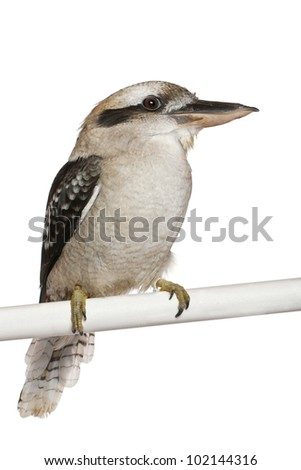 Laughing Kookaburra, Dacelo novaeguineae, a carnivorous bird in the kingfisher family, perching in front of white background