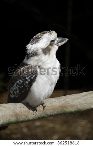 Laughing Kookaburra (Dacelo novaeguineae) rests on dead tree limb.  Laughing Kookaburras are carnivorous members of the kingfisher family, and are recognized by their distinctive laughing call. - stock photo