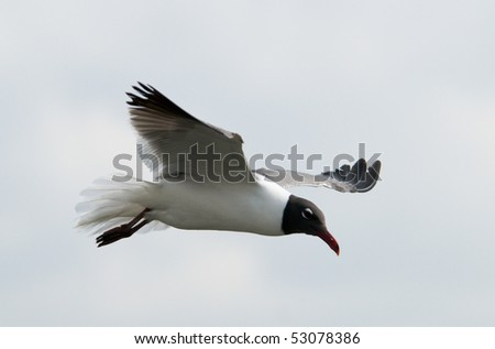 Laughing Seagull in Flight - stock photo
