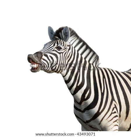 Laughing zebra isolated against white background; equus burchell's - stock photo