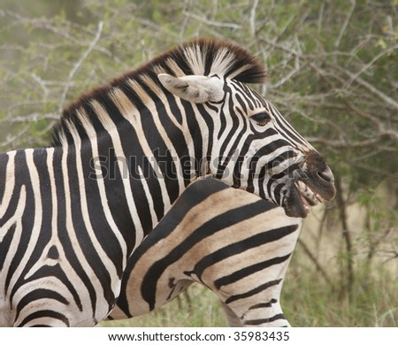 Laughing Zebra standing side ways with legs of zebra in background