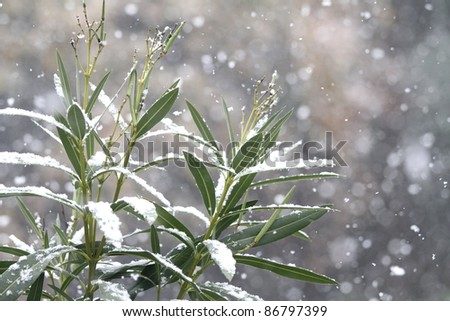 laurel branches covered by snow - stock photo