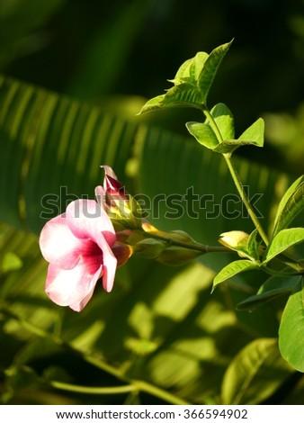 Laurel Clock Vine, Thai Flower - stock photo