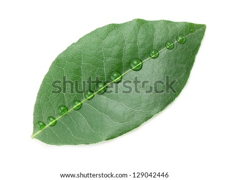 Laurel leaf isolated on white background