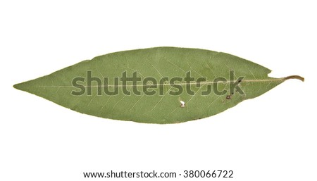laurel sheet is isolated on a white background