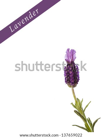 Lavandula stoechas (French lavender, Spanish lavender, or topped lavender) occurs naturally in Mediterranean countries. This species is more fragile than common lavender. - stock photo