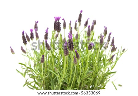 Lavandula Stoechas (French lavender; Spanish Lavender; Topped Lavender); isolated on white - stock photo