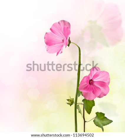 Lavater pink flowers with a blurred background - stock photo