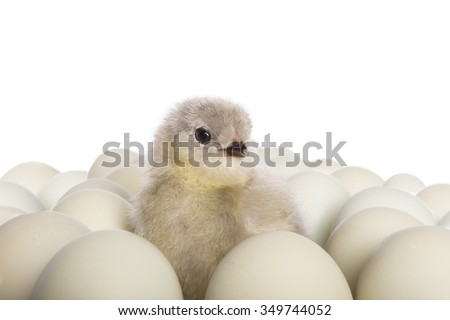 Lavender Ameraucana chick sitting amoung blue eggs isolated on white background - stock photo