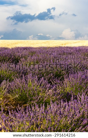 lavender and grain field, Provence, France - stock photo