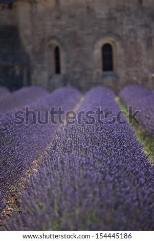 Lavender at Abbaye de Senanque, Provence - stock photo