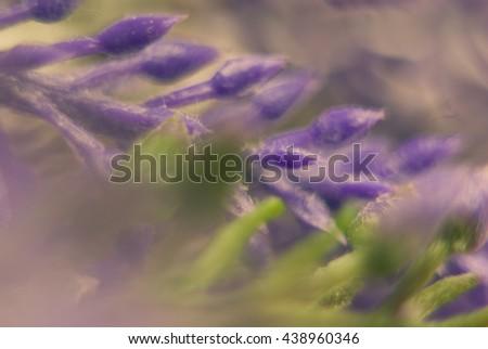 lavender background - stock photo