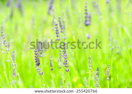 Lavender background, very shallow DOF, only one flower is in focus, most of image is out of focus. - stock photo