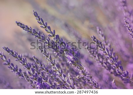 Lavender blossoms. Close up of lavender flower growing on field at sunset.  Done with vintage retro filter - stock photo