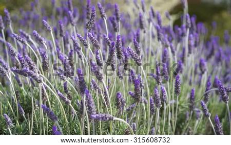 Lavender Bush Flower, selective focus, blur, bokeh background - stock photo