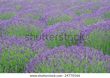 Lavender bushes - stock photo
