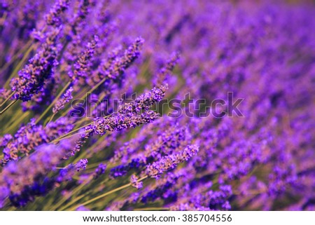 Lavender bushes near Valensole in Provence, France - stock photo