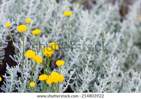 Lavender cotton - stock photo