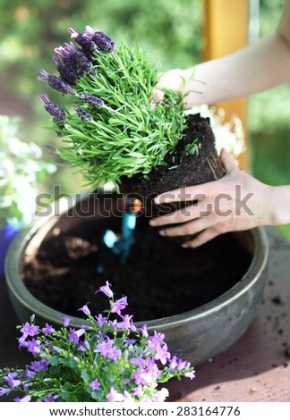 Lavender. Female plants in pot plants forming a beautiful composition flower - stock photo
