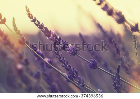 Lavender field at summer sunset.  Close up of lavender flower  over blurred background. Soft and blur style for background. Done with vintage retro filter. A photo with very shallow depth of field  - stock photo