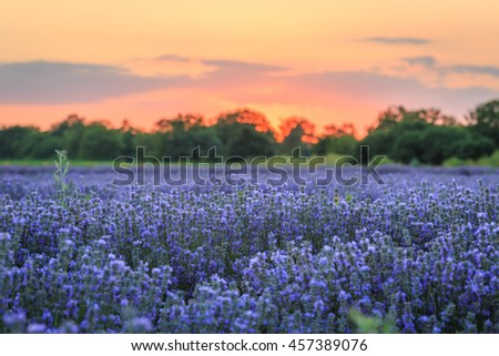 Lavender field at sunset time - stock photo
