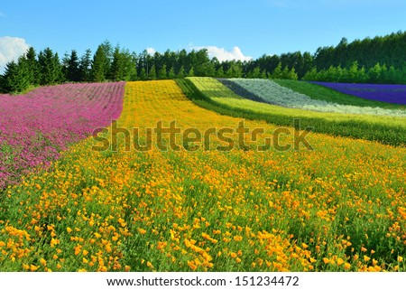 Lavender field at Tomita farm,  Furano, Hokkido, Japan - stock photo