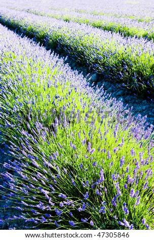 lavender field, Drome Department, Rhone-Alpes, France - stock photo