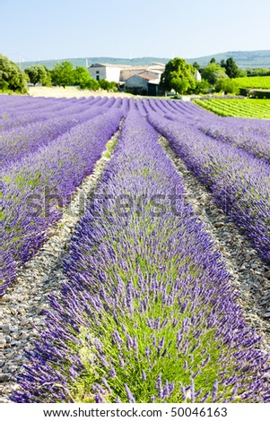 lavender field, Drome Department, Rhone-Alpes, France - stock photo